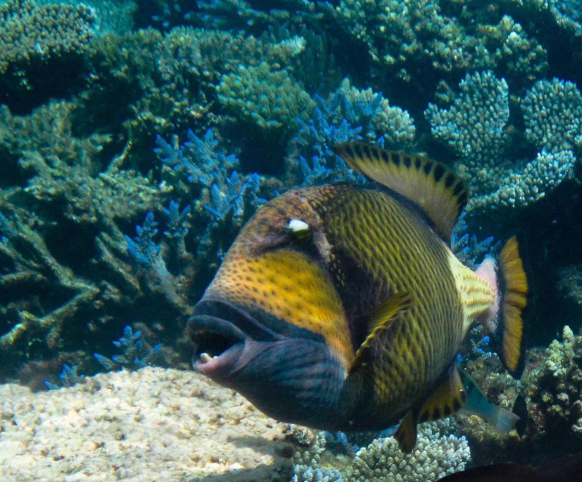 Bonny Titan triggerfish wallpaper