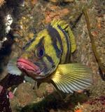 Bonny Treefish