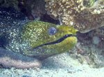Bonny Yellow-edged moray