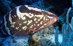 Bonny Yellowfin grouper