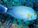 Bonny Yellowfin surgeonfish