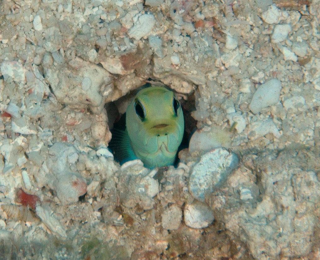 Красивый Желтоголовый широкорот фото