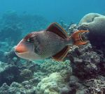 Bonny Yellowmargin triggerfish
