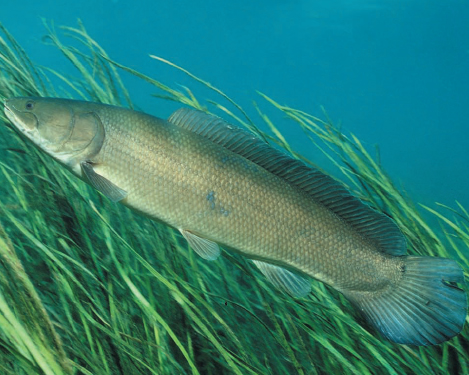 Bowfin in the grass wallpaper