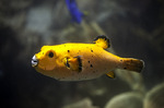 Boxfish from one side