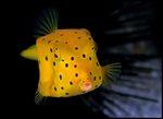 Boxfish lurking