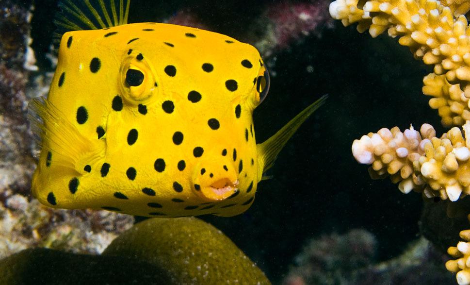 Boxfish on a bottom wallpaper