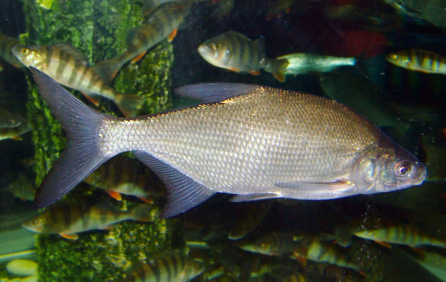 Bream wallpaper
