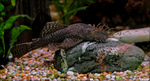Bristlenose catfish in the rocks