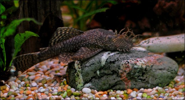 Bristlenose catfish in the rocks wallpaper