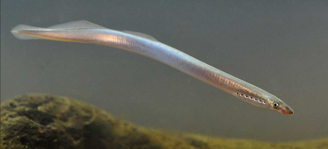 Brook lamprey fish full length wallpaper
