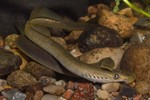 Brook lamprey swims