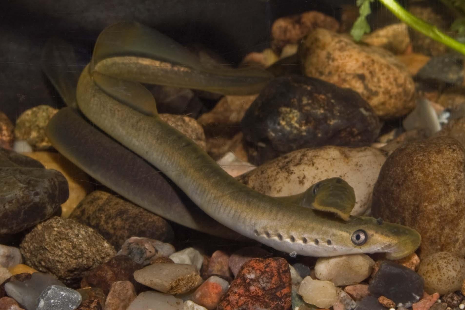 Brook lamprey swims wallpaper