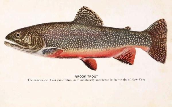 Brook trout wallpaper