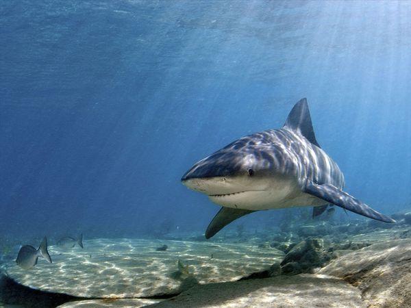 Плывет акула-бык фото