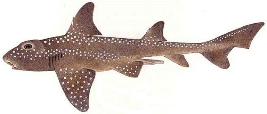 Разнозубая акула фото