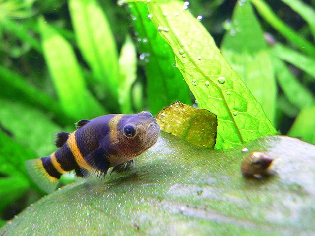 Bumblebee goby wallpaper