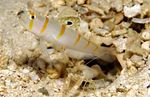 Burrowing goby swims