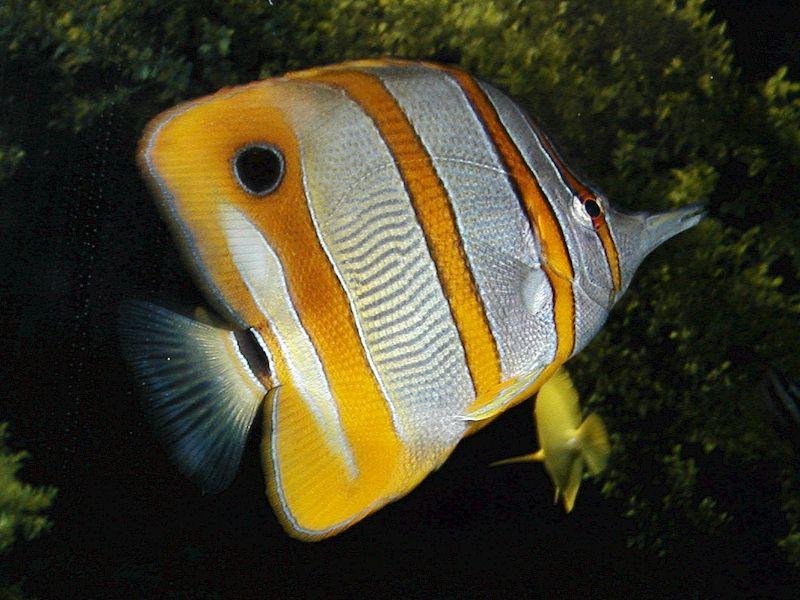 Butterflyfish wallpaper