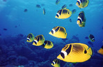 Butterflyfishes in ocean