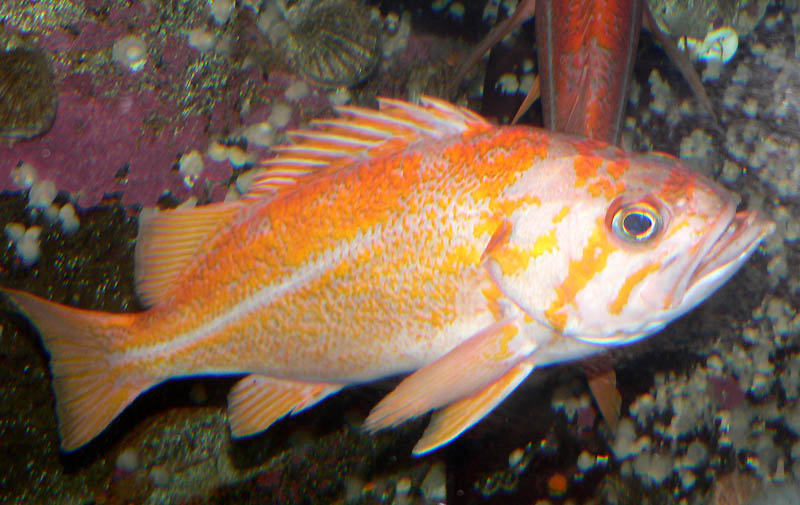 Canary rockfish wallpaper