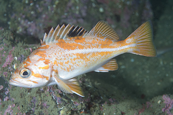 Canary rockfish swims wallpaper