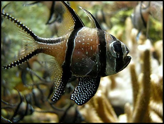 Cardinalfish wallpaper