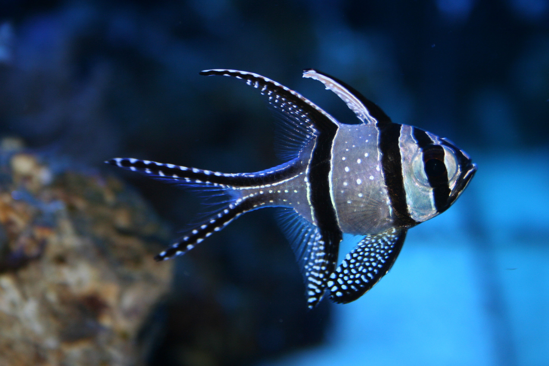 Cardinalfish wallpaper