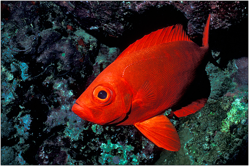 Рыба вида катафулы плывет фото