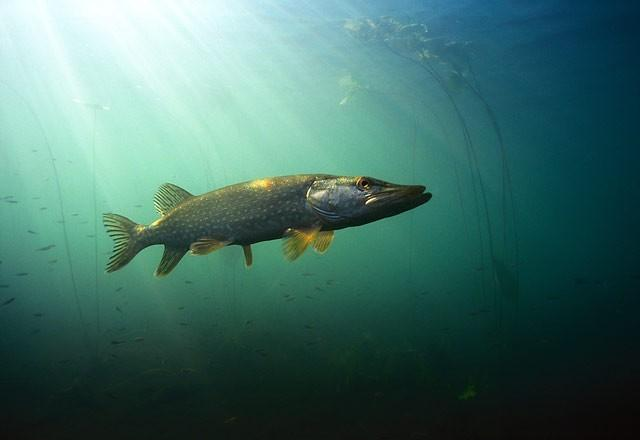 Chain pickerel in the sun wallpaper