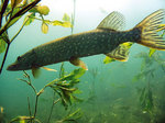 Chain pickerel swims