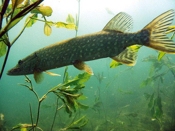 Chain pickerel swims wallpaper