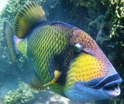 Charming Triggerfish wallpaper