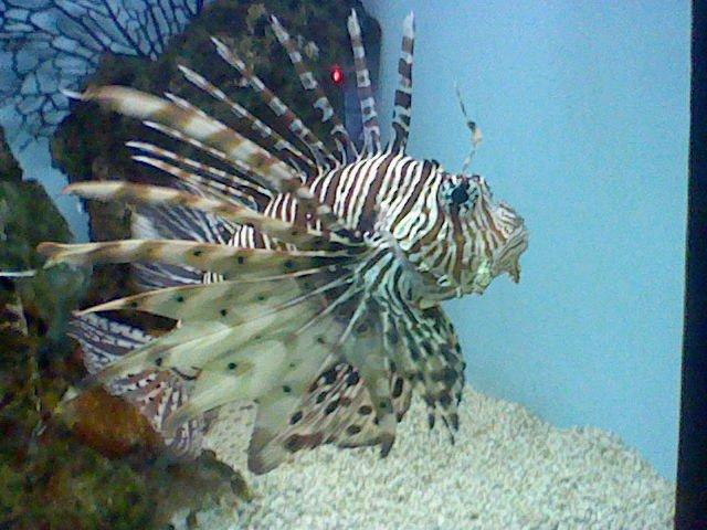 Очаровательная полосатая рыба-индюк фото