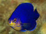 Blue cherubfish