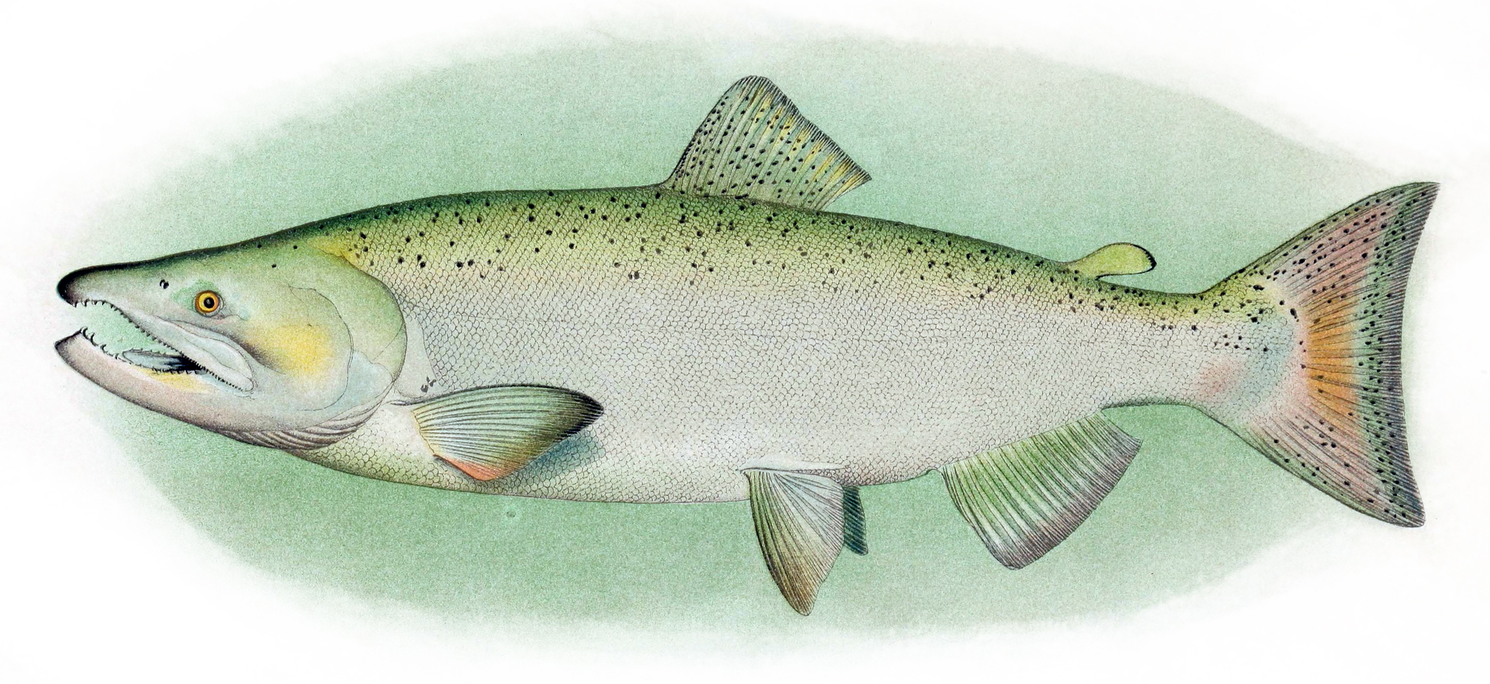 Chinook salmon wallpaper