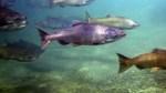 Chinook salmons