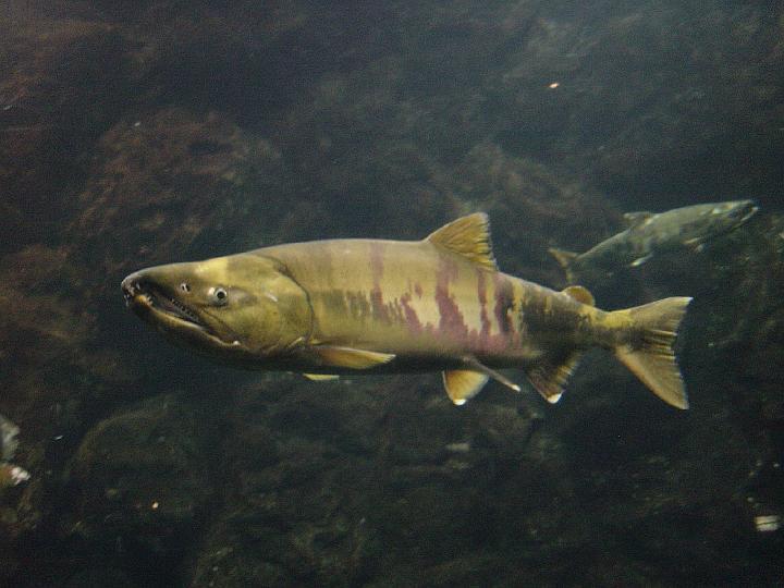 Chum salmon wallpaper