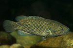 Climbing gourami swims