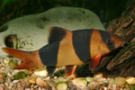 Сlown loach in bottom