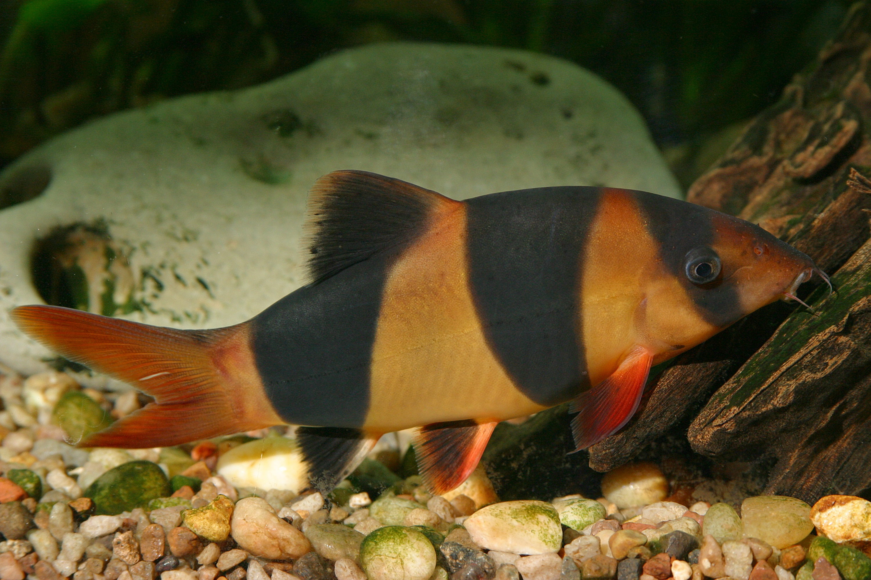 Сlown loach in bottom  wallpaper