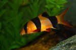 Сlown loach swims