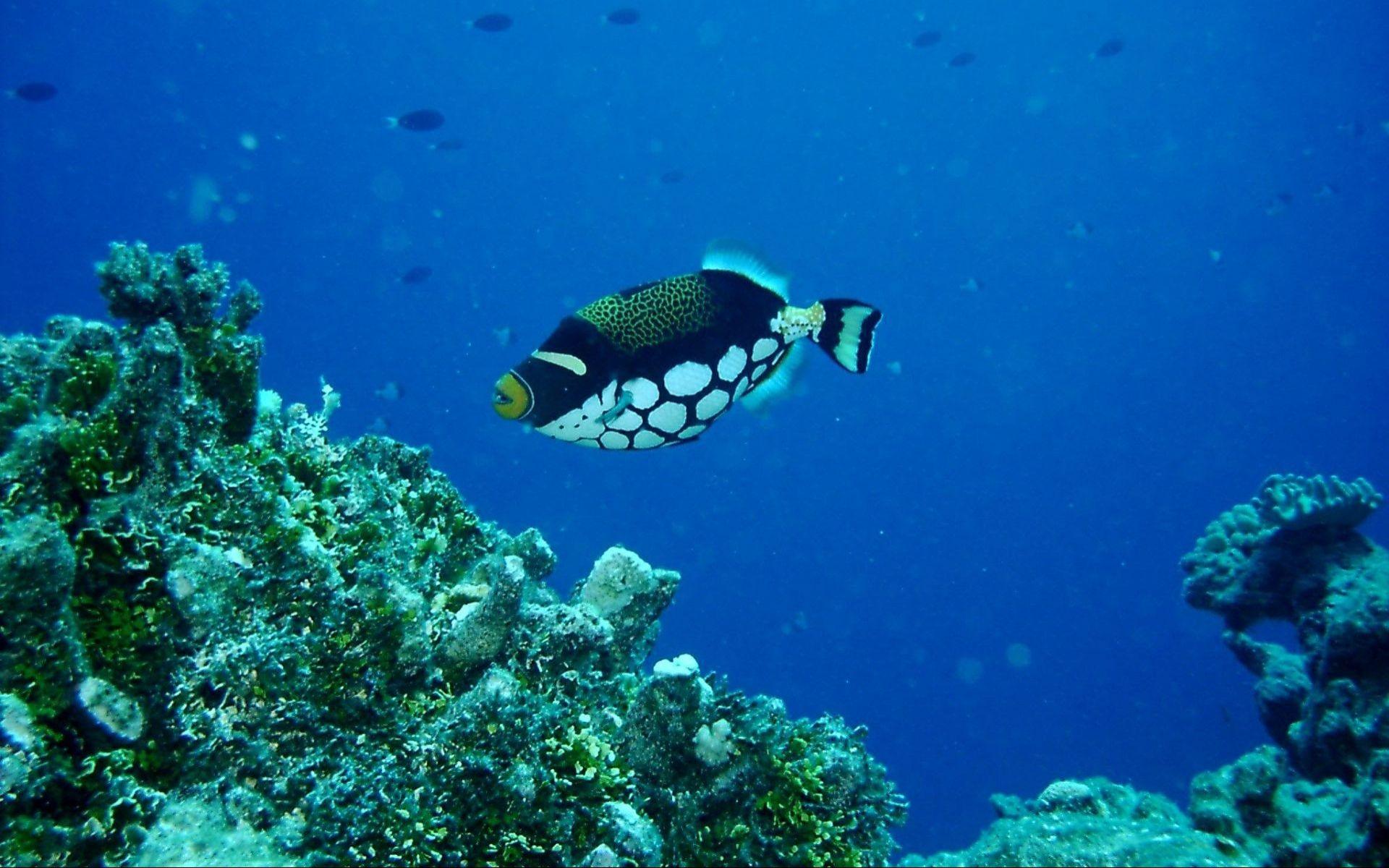 Clown triggerfish swims wallpaper