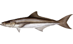 Cobia wallpaper