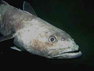 Cod icefish wallpaper