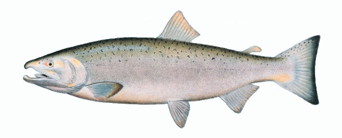 Coho salmon wallpaper