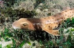 Collared carpetshark