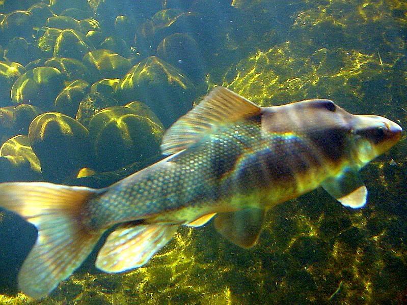 Рыба породы Пикеминнов фото