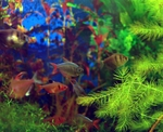Colorful Tetras