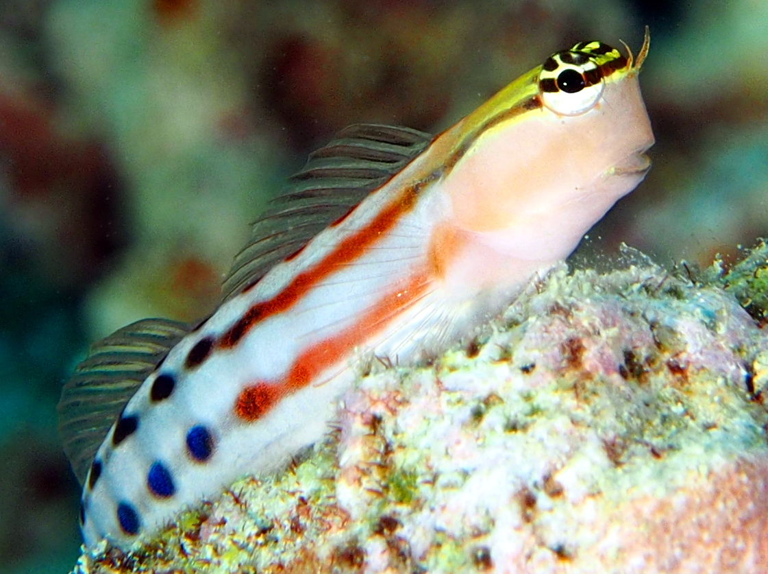 Colorful Triplefin blenny wallpaper